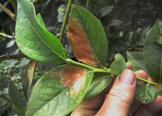 Почему у голубики краснеют листья