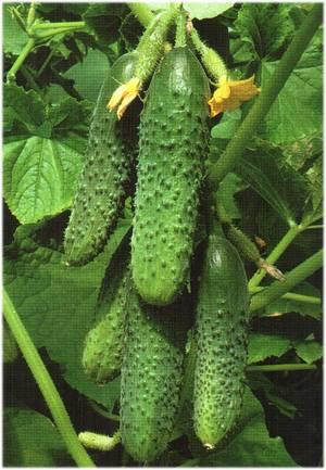 Какие огурцы самые урожайные для открытого грунта: рейтинг сортов