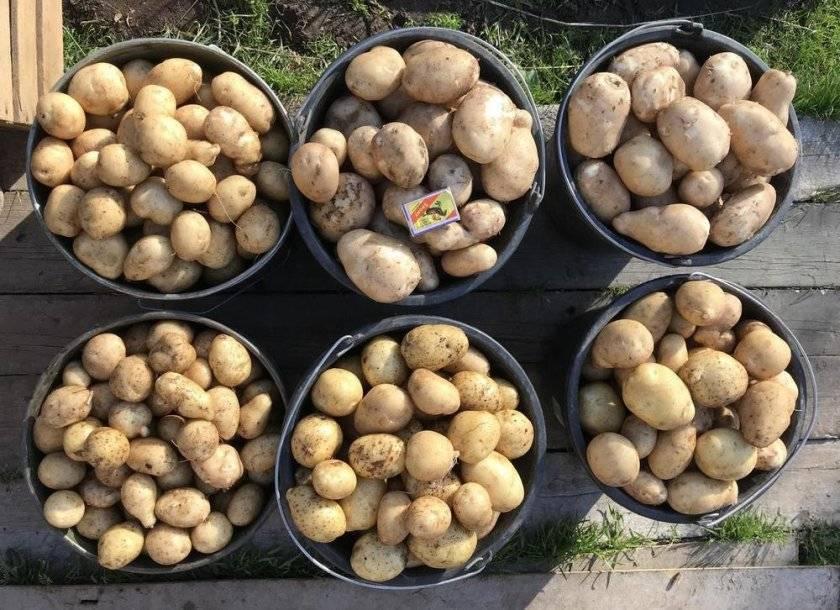 Сорт картофеля чародей: описание и характеристика, отзывы