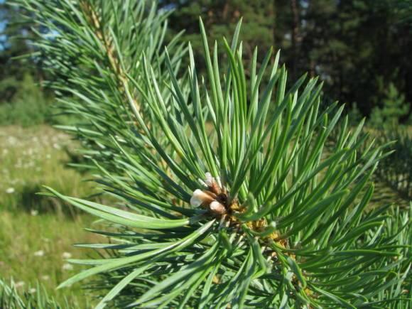 Живица сосновая — лечебные свойства и применение