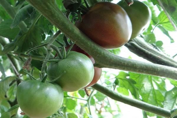 Описание лучших сортов черных помидоров для открытого грунта и теплицы