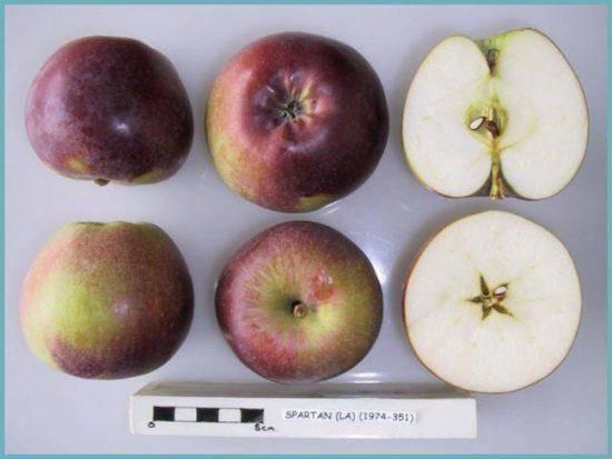 Яблоня «спартан»: характеристики и описание сорта