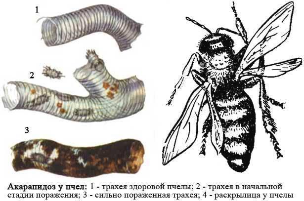 Пчеловодство : болезни пчёл : акарапидоз