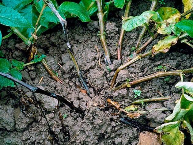Черная ножка у рассады томатов: что делать | топ огород