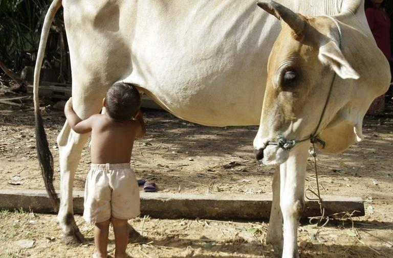 Народное средство как вылечить у коровы вымя