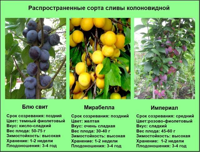 Правила посадки и выращивания алычи колоновидной