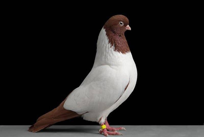 Какие существуют породы голубей?