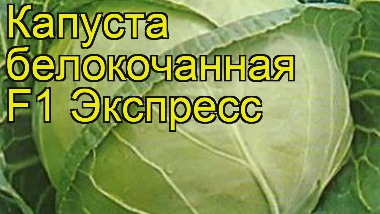 Капуста агрессор: описание сорта, выращивание, плюсы и минусы, фото