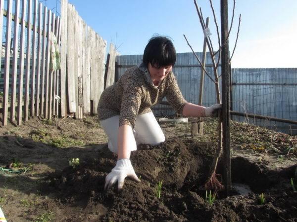 Как сажать яблоню правильно (пошаговая инструкция, схема, рекомендации)