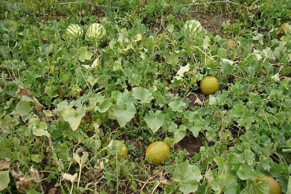 Арбузы в сибири - огород