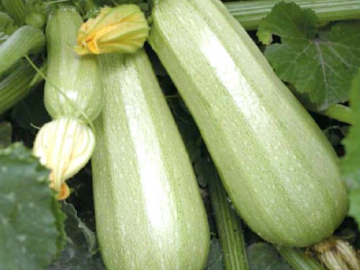 Кабачок кавили: характеристика сорта и 7 особенностей