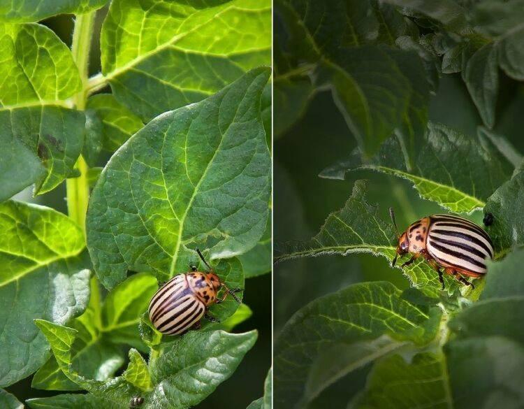 Горчица и уксус против колорадского жука: пропорции и правила обработки