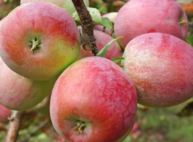 Сорт яблок эрли женева: описание, преимущества, химический состав и польза плодов, сроки созревания, выбор места и технология посадки