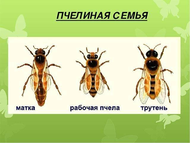 Кто такие пчелы трутни? их функции в семье