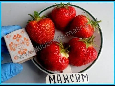 """Клубника """"максим"""": описание сорта, фото, отзывы, преимущества, особенности выращивания"""