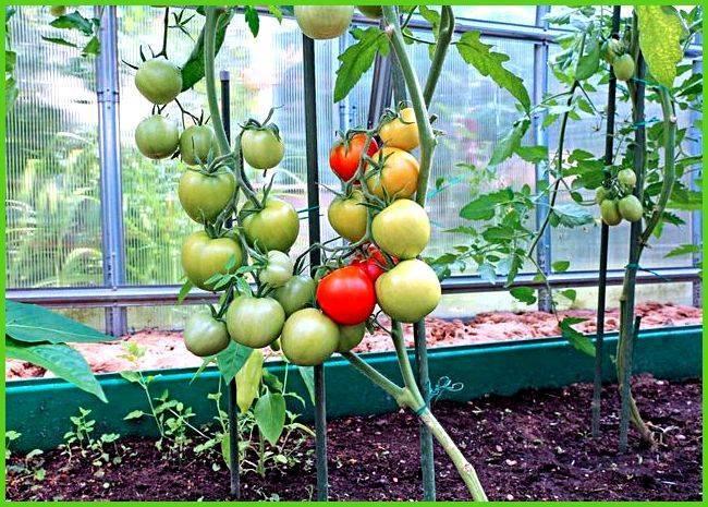 Пасынкование помидоров: как правильно пасынковать и прищипывать помидоры в теплице