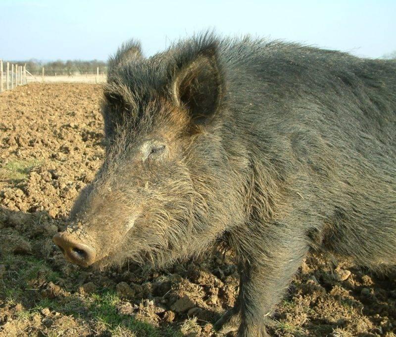Порода свиней кармалы (36 фото): их характеристики. правила ухода за поросятами и особенности их кормления. отзывы владельцев