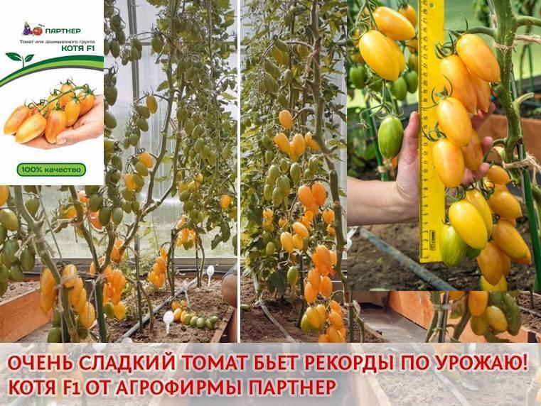 Скороспелые черри от фирмы партнер — томат котя: описание сорта и отзывы