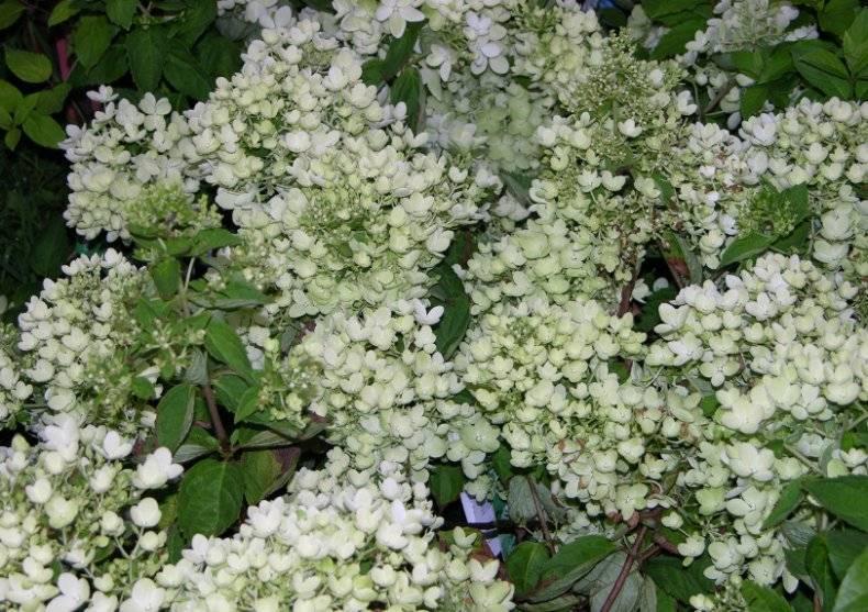 Гортензия макрофилла (hydrangea macrophylla) — описание