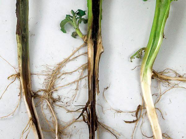 Борьба с черной ножкой на рассаде