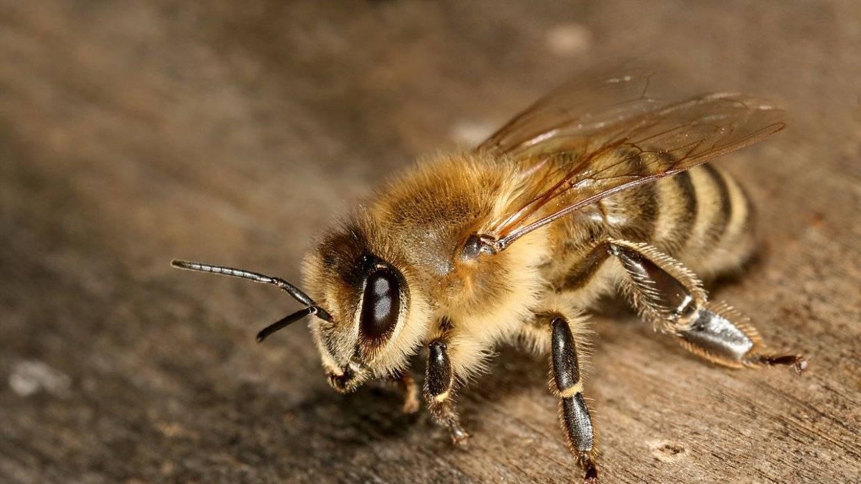Методы осенней обработки пчел от клеща варроа