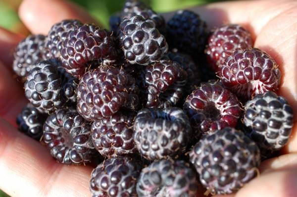 Малина кумберленд — советы по выбору и выращиванию. обзор достоинств и недостатков сорта (110 фото)