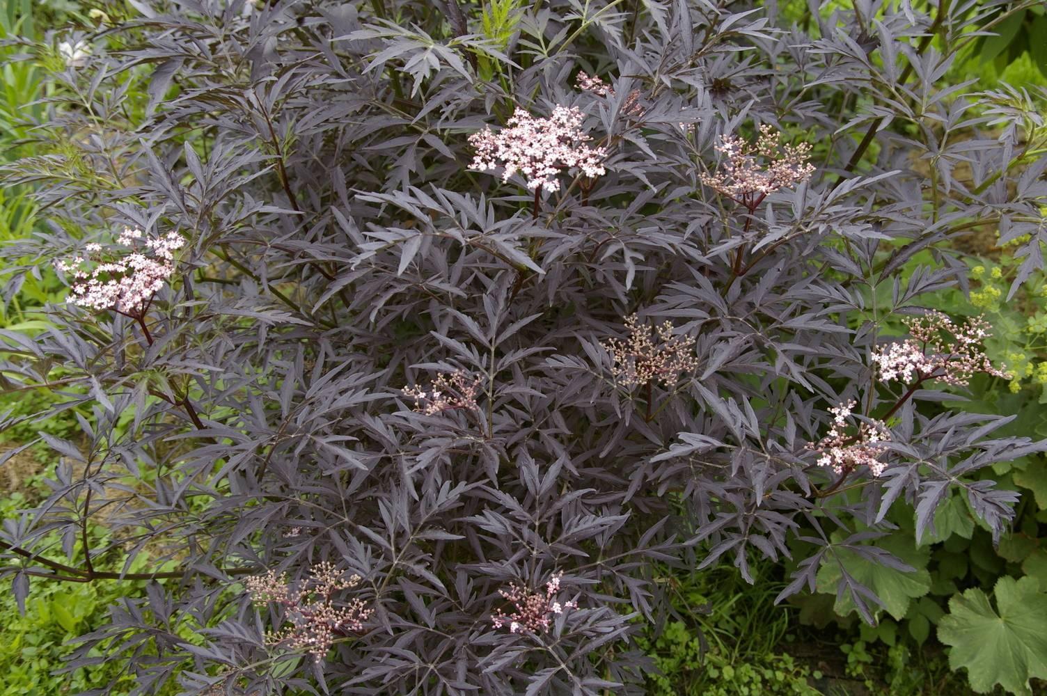 Чёрный красавец — баклажан для тёплого климата