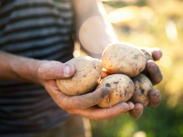 Описание, характеристика и тонкости выращивания картофеля сорта венета