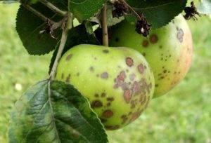 Обработка груш от парши осенью. методы и препараты для лечения груши от парши