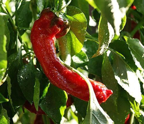 """Перец """"какаду"""": выращивание, размножение и описание сорта"""