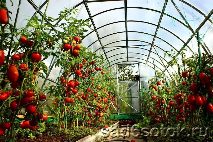 Посадка помидор в теплицу: подготовка почвы, схема, возраст рассады, сроки, особенности, расстояние, фото