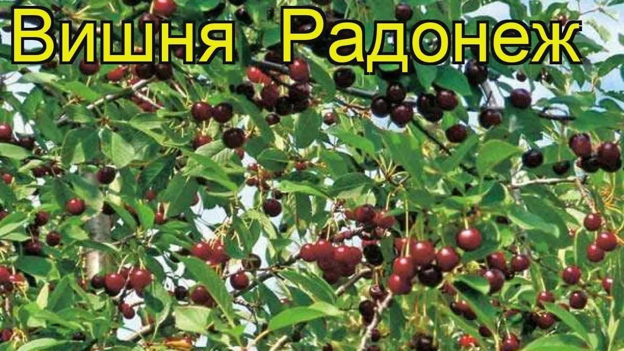 Описание плодов и морозостойкого дерева вишни радонеж