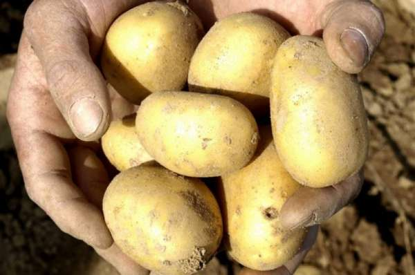 Картофель сорта киви – описание, характеристика, фото и отзывы