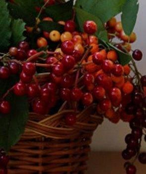 Рябина розовая — описание сорта, фото, отзывы садоводов