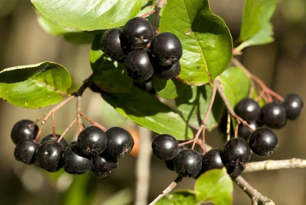 Рябина черноплодная (арония)— польза, вред, применение