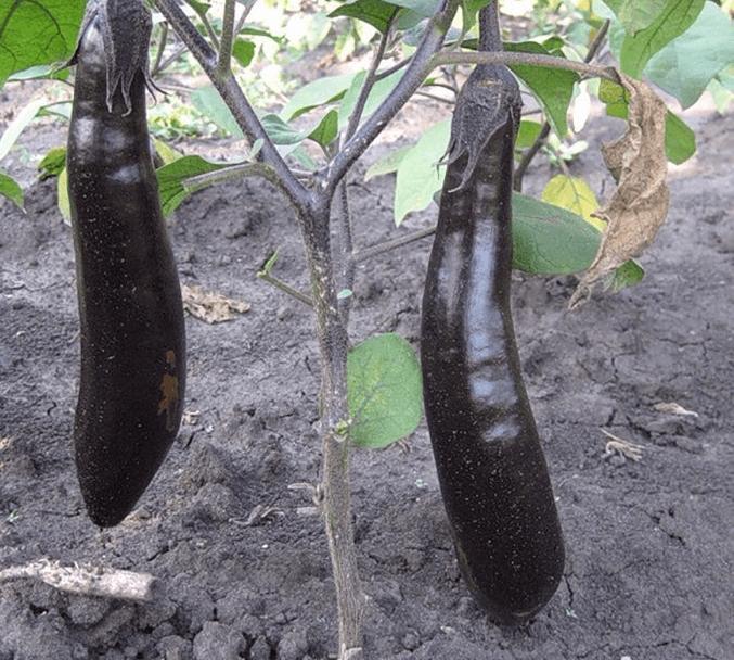 Сорт баклажанов король севера: характеристика, секреты успешного выращивания