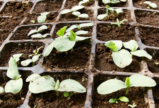 Секреты подкормки огурцов: подходящие удобрения, правила, схемы