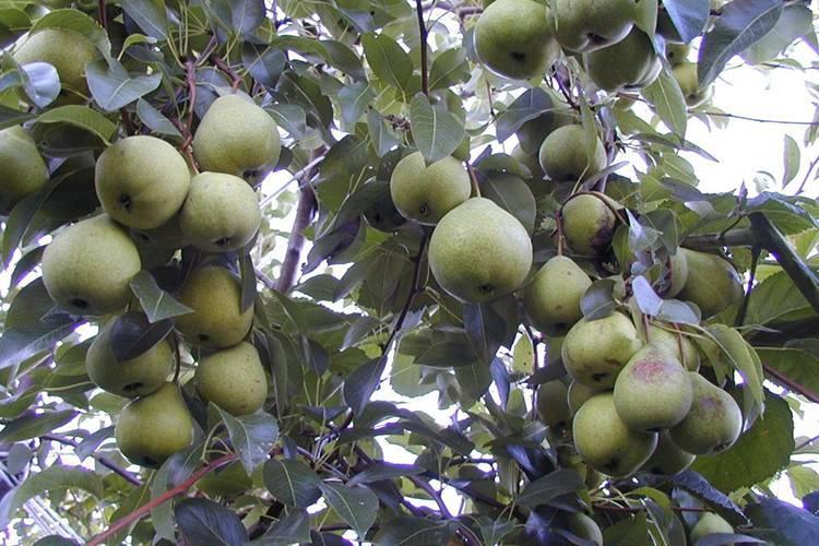 Груша августовская роса: преимущества и недостатки сорта