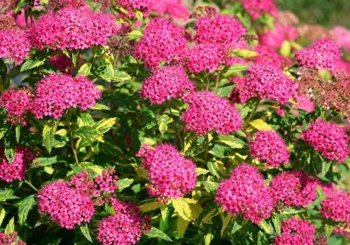Розовые спиреи (48 фото): метельчатые и другие виды, посадка и уход, описание сортов. как размножается кустарник с розовыми цветами?