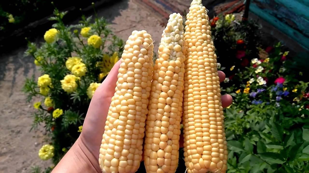 Сладкая кукуруза: описание лучших сортов и технология выращивания, отзывы с фото