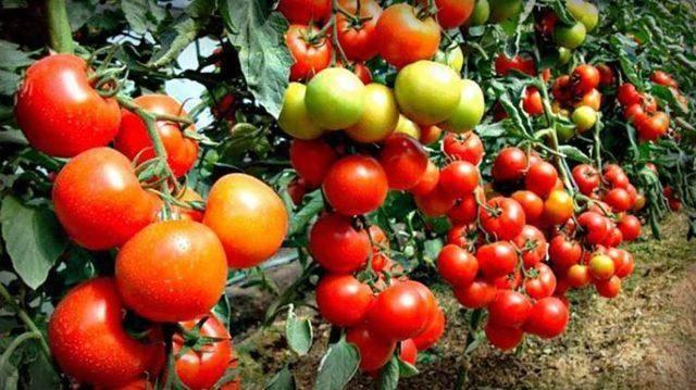Характеристики и описание сорта томата лакомка