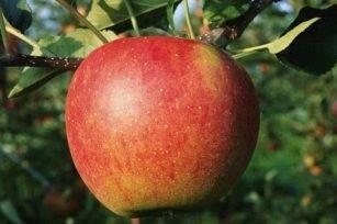 Бельфлер-китайка, яблоня: описание, особенности ухода, выращивание и отзывы