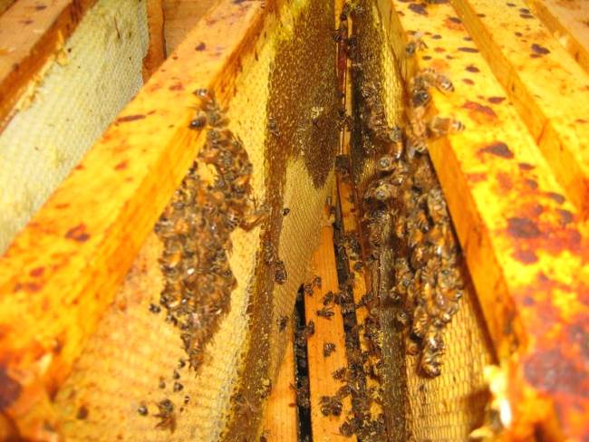 Как лечить нозематоз пчел