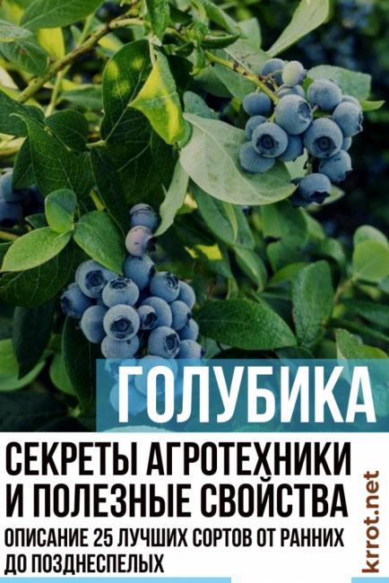 Голубика эрлиблю: описание, отзывы, фото