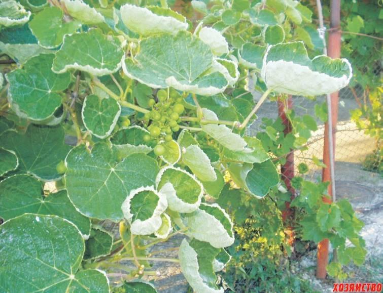Почему у огурцов закручиваются листья во внутрь: советы по выбору лекарства и основные методы лечения (90 фото)