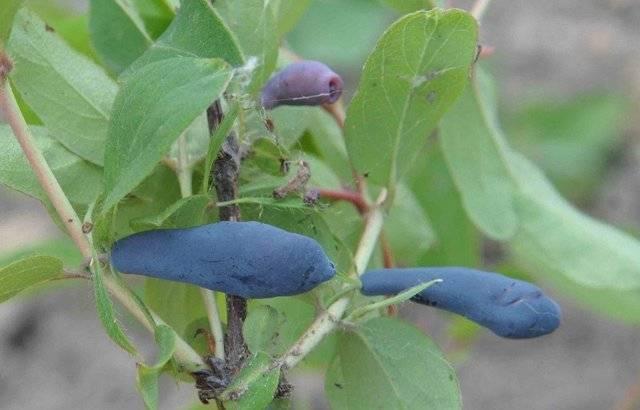 Сорт съедобной жимолости бажовская: характеристика, особенности выращивания