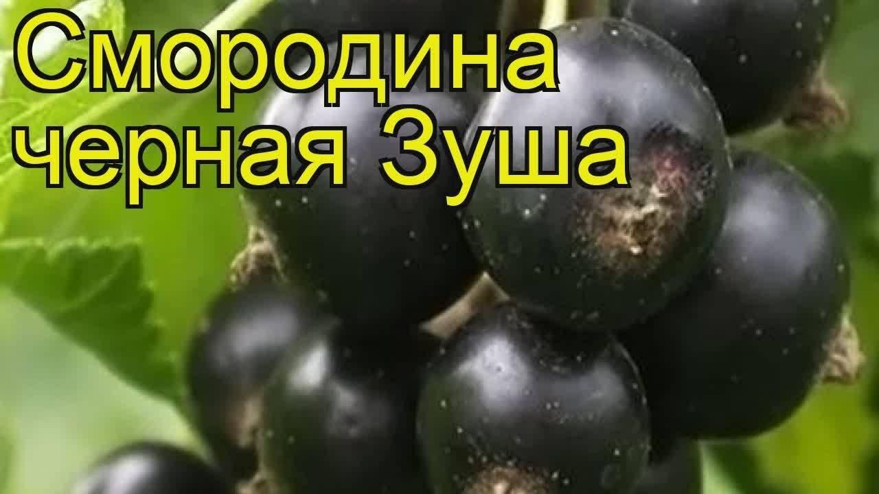 Чёрная смородина несравненная — основные характеристики