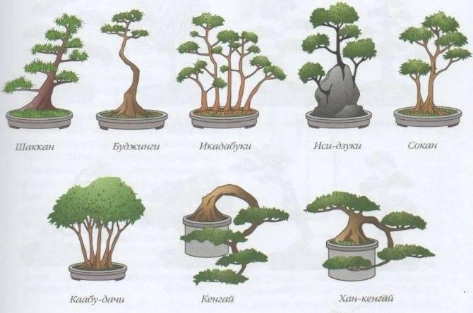 Семена бонсай — выращивание в домашних условиях