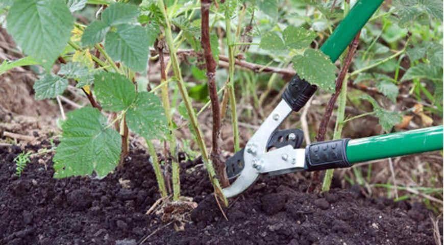 Как обрабатывать малину от вредителей и болезней весной, в другое время года