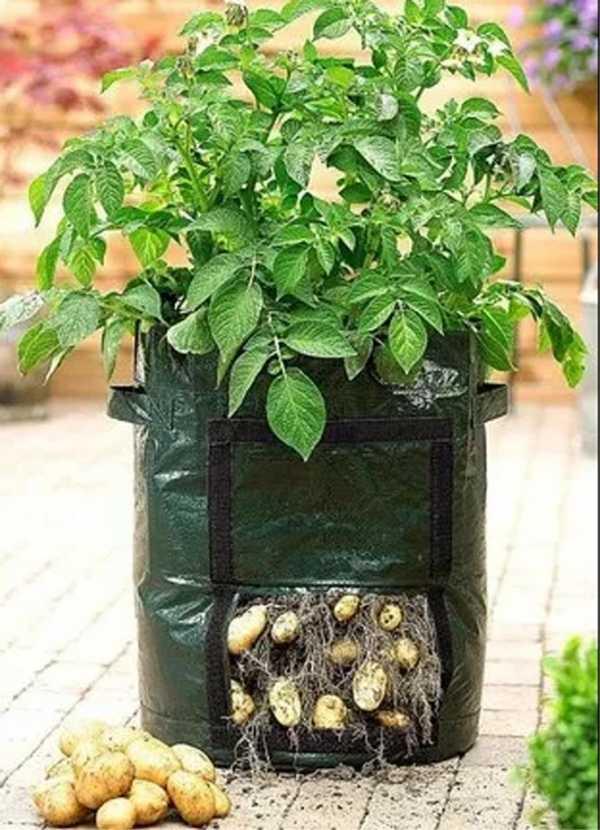 Как вырастить картофель в мешках?